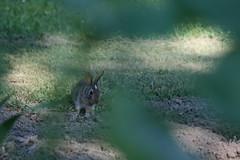 IMG_3454 (Blackavar Lion) Tags: rabbit bunny conejo coelho  lapin watershipdown kaninchen    canonrebelxti  2be2176f59cfac7c3f99b44a73b29c9b