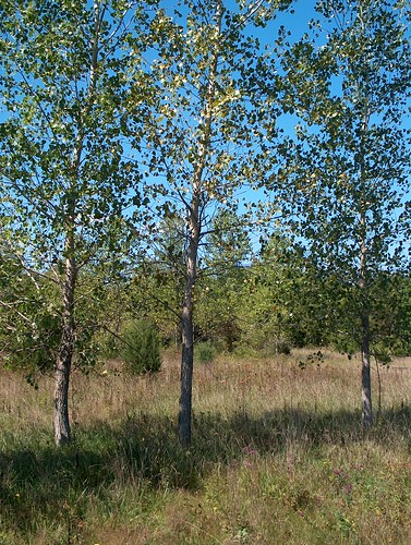 young cottonwood trees