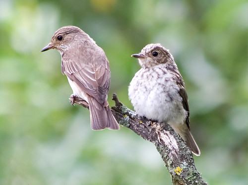 Spotted Flycatchers