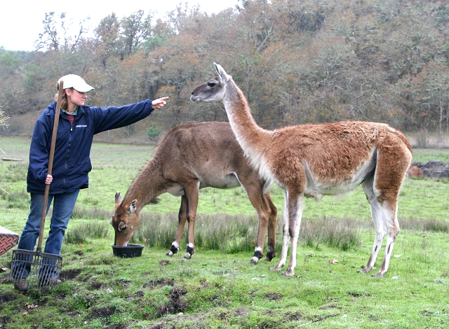 Nilgai and Guanaco