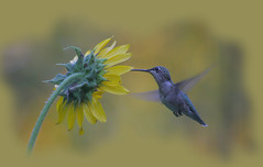 Late Evening Light Hummingbird (Indiana Ivy Nature Photographer) Tags: 20d nature digital canon photos ivy indiana