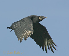 Black Vulture (dhkaiser) Tags: ohio black dan falls kaiser vulture ias avianexcellence vosplusbellesphotos