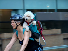 a shoulder to lean on (istolethetv) Tags: street nyc newyorkcity summer dog chien streets cute cane photo foto image manhattan snapshot picture adorable photograph gothamist pup week2 pooch   womansbestfriend summerstreet amazingdog hethinkshespeople dogbackpack summerstreets august162008