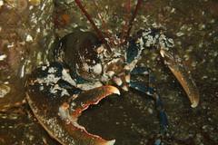 Defensive Lobster (Ross Drummond) Tags: uk scotland underwater scuba diving lobster crustacean shetland homarus mvhalton europeanlobster homarusvulgaris divingshetland wildlifenosshead hummarus