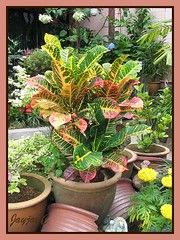 Focus on the spectacular variegated leaves of the potted Croton