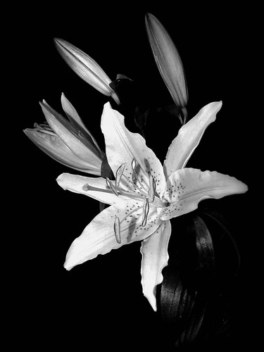 Black and white lily flower