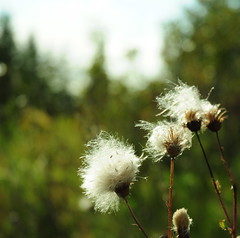 w i n d (anniedaisybaby) Tags: sun sunlight wind meadow scout seeds prairie wildflower thistledown seedheads rubyphotographer