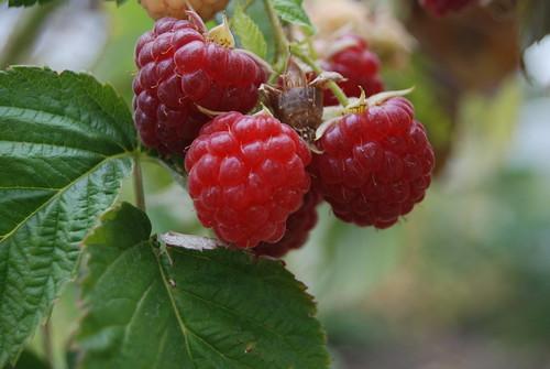Rasberry Bush by hello-julie, on Flickr