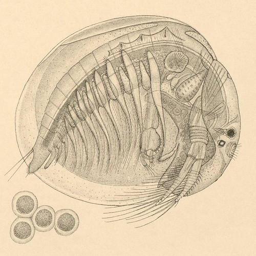 Limnetis brachyura b detail