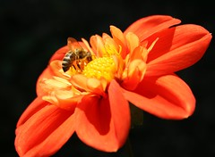 on black (Cornelia G.Becker (soulll59)) Tags: red flower macro rot germany garden deutschland blossom multicolored blume blüte supermacro garten closer dahlie