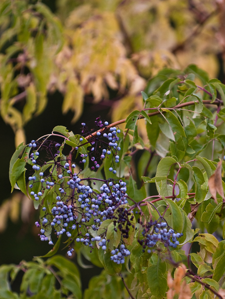 elderberries and fall colors