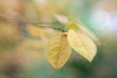 Listen to the Wind (F l e u r) Tags: autumn berlin fall nature leaves yellow lensbaby germany leaf bokeh tiergarten