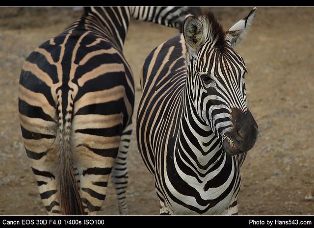查普曼斑馬_Chapman's Zebra_08