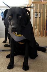 Batdog8 (hadzik) Tags: black halloween costume labrador bat batman tibor batdog
