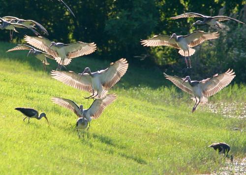 White Ibis Flock 20081019