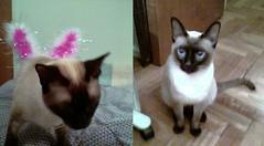 Ella & El ([ - P a b l o - ]) Tags: siamese gatos maia milton siames rominita