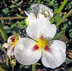 (Sagittaria montevidensis ssp. montevidensis) ............. california arrowhead ~ SAETA DEL AGUA .................... original = (2728 x 2678) (turdusprosopis) Tags: arrowhead plantasbrasileiras sagittaria alismataceae florabrasileira sagittariamontevidensis brazilianflowers floraargentina riberanorte floramisionera plantasargentinas plantasdeargentina floradeldeltadelparan saetadelagua flechadelagua floraautctonauruguaya floraautctonadeuruguay floraautctonadeluruguay plantasautctonasargentinas plantasautctonasdelaargentina floraautctonaargentina floraautctonadeargentina plantasnativasargentinas plantasnativasdeargentina plantasnativasdelaargentina plantasparaguayas brazilianplants floradeluruguay plantasuruguayas florauruguaya plantasdeluruguay floradeldelta floradelaargentina floradeargentina alismatceas plantasautctonasdeluruguay floranativauruguaya floranativadeuruguay plantasautctonasdeargentina floraautctonadelaargentina floradelparaguay floradeparaguay floraparaguaya plantasdelparaguay plantasdeparaguay plantasautctonasdelparaguay floranativabrasileira floranativadobrasil floradobrasil floradoriograndedosul plantascorrentinas plantasnativasdobrasil argentineflowers indigenousflowersofargentine argentineindigenousplants plantasnativasdeentreros floracorrentina floradecorrientes floraentrerriana floradeentreros plantasdecorrientes plantasdeentreros indigenousplantsofargentine argentineindigenousflowers indigenousfloraofargentine floraofargentine argentineflora floweringplantsofargentine paraguayanflowers reservariberanorte reservaderiberanorte californiaarrowhead sagittariamontevidensissspmontevidensis sagittarias