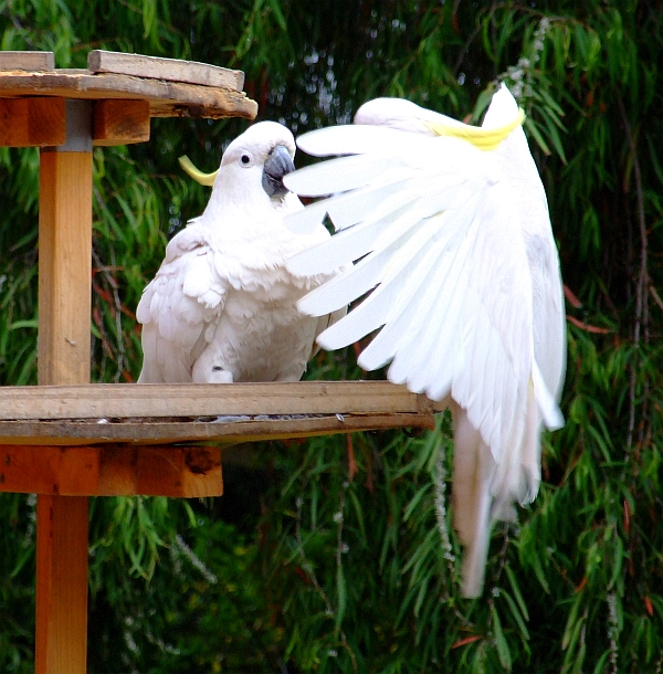 two upset cockatoos