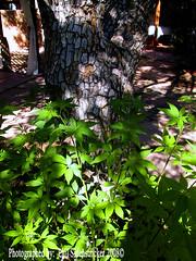 Leaves and a Tree (phil_sidenstricker) Tags: tree nature leaves bush naturallight donotcopy valleyofthesunphoenixmetro upcoming:event=981998 southmountainfarmphoenixazusa
