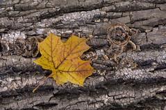 Fallen leaf (violetflm) Tags: fall texture leaf maple d2x fungus harms cf21946
