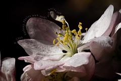 (scifitographer) Tags: flower macro canon cherry spring blossom 2008 canon100mm 40d bethanthony retroreflectography