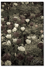 Couleurs pastels (nathaliehupin) Tags: amsterdam mai2008 nathaliehupin keukenhof lisse nikon fleurs flowers tulipe tulips photographenamur photographeliege photographemons photographebruxelles photographehainaut photographebelgique wwwnathaliehupinbe photographeluxembourg wwwnathaliehupingraphismebe