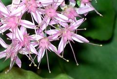 Microfiorellini d'autunno (.。.:*・゜☆ ЭЅТЄЯ ☆゜・*:.。.) Tags: pink flowers autumn baby macro season rosa natura fiori autunno pianta sottobosco fiorellini stagione masterphotos microfiorellini