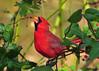In Berryland (ozoni11) Tags: bird nature birds animal animals interestingness berry nikon berries cardinal 127 explore cardinals columbiamaryland d300 i500 interestingness127 michaeloberman explore127 ozoni11 berryland
