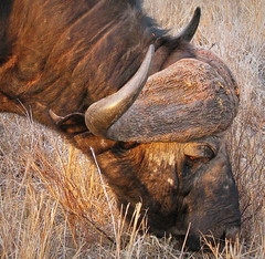 Buffalo Grazing (Colorado Sands) Tags: buffalo dangerous synceruscaffer african knp kruger nationalparks safari afrikasafari southafrica za southafrican limpopoprovince limpopo krugernationalpark sandraleidholdt animal wildlife africa