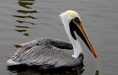 pelican portrait (jay j wilkie) Tags: colour bird water marina florida wildlife beak feathers waterbird pelican flickrmeet fernandina jft goldstaraward flickrlovers jaxfieldtrip