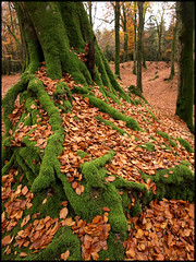 Mossy roots (ExeDave) Tags: uk november autumn england tree nature leaves leaf moss explore devon gb common moat beech treeroots fallenleaves ironage hillfort fagussylvatica eastdevon fagaceae commonland woodburycommon interestingness500 ironagehillfort eastdevonpebblebedheaths eastdevoncommons rubyphotographer woodburycastle eastdevonheaths moreorlessastaken woodburyhillfort woodburycastlehillfort