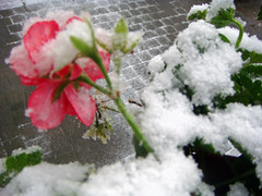 Hoogvliet (dietmut) Tags: city november flowers schnee winter snow dutch rotterdam frost rip sneeuw nederland thenetherlands places lonelyplanet firstsnow 2008 sonycybershot niederlande eerstesneeuw dutchlandscape zuidholland vorst rijm hoogvliet hollandslandschap wonderfulworld beginnersdigitalphotography dutchnature zalmplaat naturesbeauties beautifulcaptureaward sonydsct200 excellentsflowers thedutchlandscape roodroodachtig redreddish rotrtlich