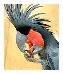 Taman Burung Bali (Franc Le Blanc .) Tags: bali bird nature closeup fauna indonesia parrot dimagez3 birdwatcher balibirdpark konicaminolta llovemypics tamanburungbali