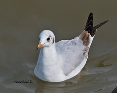Brown-headed Gull (somchai@2008) Tags: inspiredbylove brownheadedgull larusbrunnicephalus vosplusbellesphotos