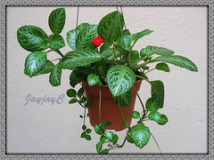 Our Episcia cupreata 'Frosty' in a hanging pot