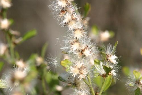 Fluffy Seeds 20081215