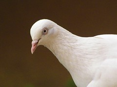 White dove on umber