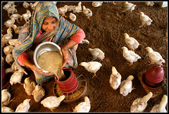 Entrepreneurial Excellence [..Narayanganj, Bangladesh..] (Catch the dream) Tags: woman chicken feeding bongo young bowl litter entrepreneurship poultry chicks feed activity enterprise hen economy bengal bangladesh economics tender bangla microcredit bengali bangladeshi entrepreneurial bangali broiler narayanganj poultryfeed rupgonj womanentrepreneur poultryindustry gettyimagesbangladeshq2