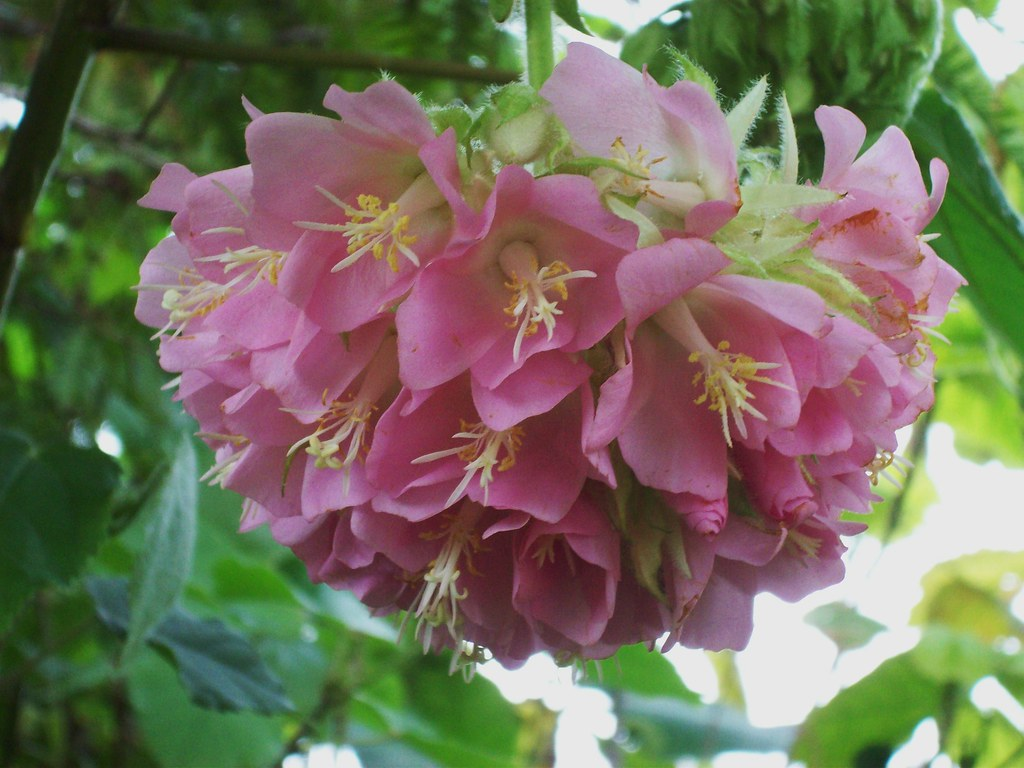 I Like Plants Dombeya Wallichii