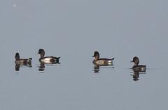 Tufted Duck (nurur) Tags: bird duck dam tufted bangladesh feni tuftedduck muhuri nurur muhuridam muhuririver