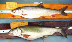Compared to lean lake trout (top), fat lake trout (bottom)—also known as siscowets—have bigger eyes and fins, shorter and more angled snouts, and a higher body fat content. ~courtesy Shawn Sitar