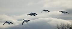 68EV5136-1 (sgbaughn) Tags: geese goose snowgeese snowgoose