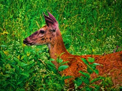 A Deer at the Saratoga Battlefield (Samantha Decker) Tags: ny newyork america photoshop canon geotagged nationalpark nps saratoga upstate battle ps powershot adobe revolution pointandshoot revolutionarywar battlefield stillwater postprocess cs4 turningpoint topazadjust sx10is samanthadecker geo:lat=43009111 geo:lon=73638855