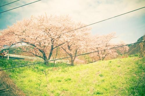12297 - Sakura2010 #22 - Spring of village -