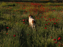 tiempo de amapolas (jacilluch) Tags: red dog pet flower blanco fleur rojo flor blossoms can perro blanca poppy rosella silvestre gos breton coquelicot papaver perra poppys amapola cornpoppy papoula gineceo adormidera encarnado ababol raspi bretonepagneul  mitxoleta papaverorosso papuela rossopapavero perrocazador