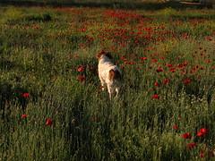 tiempo de amapolas (jacilluch) Tags: red dog pet flower blanco fleur rojo flor blossoms can perro blanca poppy rosella silvestre gos breton coquelicot papaver perra poppys amapola cornpoppy papoula gineceo adormidera encarnado ababol raspi bretonepagneul  mitxoleta papaverorosso papuela rossopapavero perrocazador