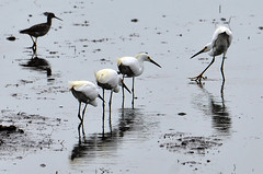 The Dance Instructor (ozoni11) Tags: bird nature birds animal animals nikon wetlands delaware egret greategret wetland egrets d300 bombayhook michaeloberman ozoni11 bombayhookdelaware