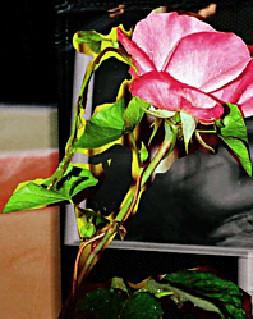 4 rose épines