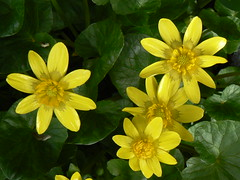 Marsh marigolds up close