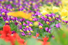 IMG_2680 (Steve Wan^_______________,^) Tags: show park flower colour love canon lens eos bay victoria hong kong l usm 2008 ef f4 1740 causeway colouful 24105 supershot 40d diamondclassphotographer flickrdiamond